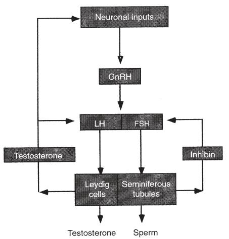 De HPG as. Merk op dat niet alleen testosteron voor negatieve terugkoppeling zorgt; ook oestradiol vanuit conversie door het aromatase enzym zorgt voor negatieve terugkoppelign.