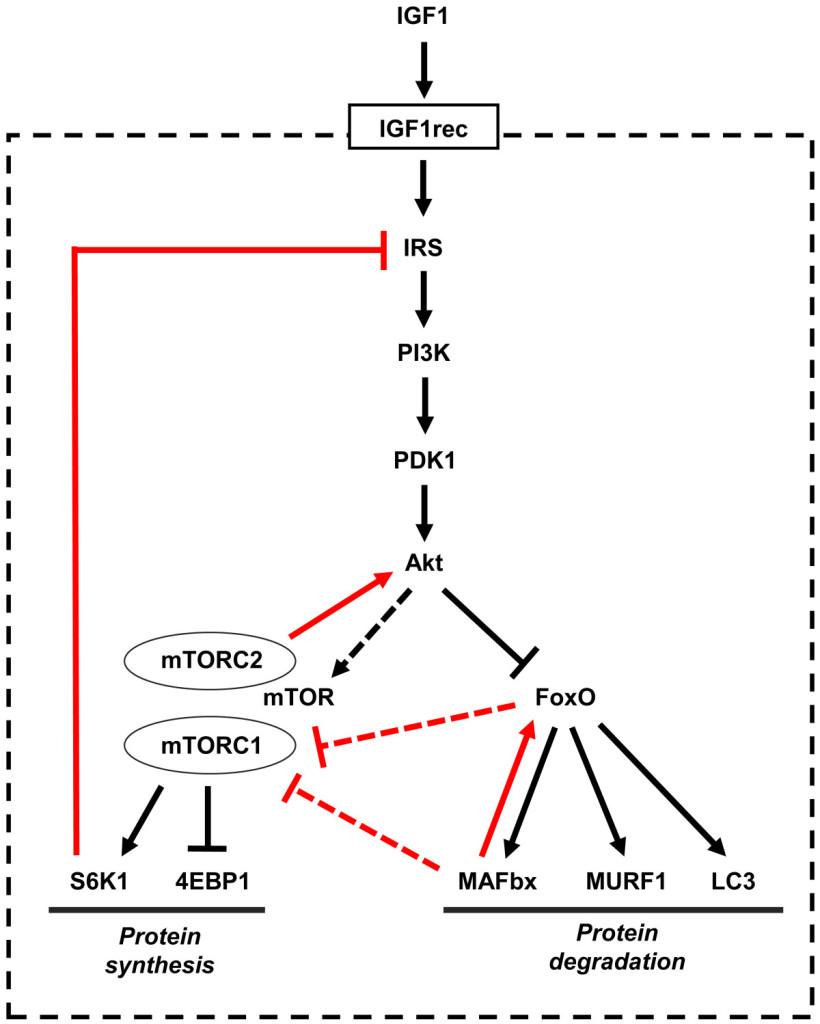 IGF-1/Akt/mTOR pathway. Figuur overgenomen uit [12].