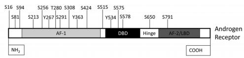 Fosforylatie locaties van de AR. Figuur overgenomen uit [3].
