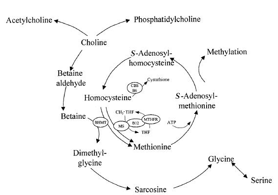 De methionine cyclus. Betaine doneert een methylgroep aan homocysteine om methionine te vormen. Methionine vormt een substraat voor methionine adenosyltransferase om SAM te vormen. SAM is een belangrijke methyldonor in tal van reacties. Na donatie van zijn methylgroep wordt uiteindelijk weer homocysteine gevormd.
