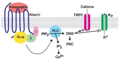 De signaleringscascade volgend na binding van een kisspeptine aan de KISS1R.