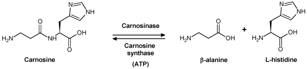Carnosine synthese en afbraak.