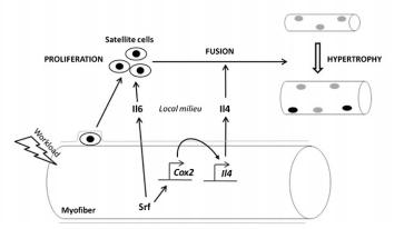 SRF reguleert IL-4 en IL-6 expressie en reguleert daarmee satellietcel proliferatie en fusie. Overgenomen uit [6].