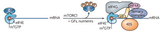 4E-BP1 blokkeert mRNA translatie door binding aan eIF4E.
