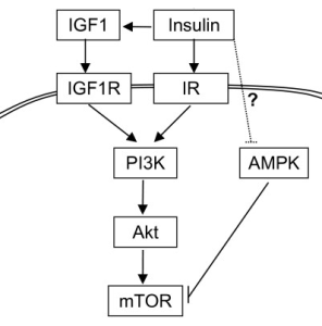 PI3K/Akt/mTOR pathway.